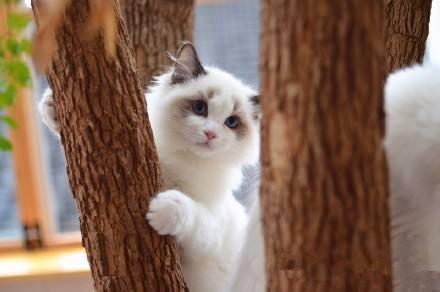 布偶猫最多能长多大?